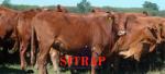 Orgullo ganadero: Sitrap logra la recertificación ISO 9001 con SGS